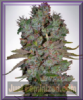 Ministry of Cannabis Auto Blueberry Domina Fem 5